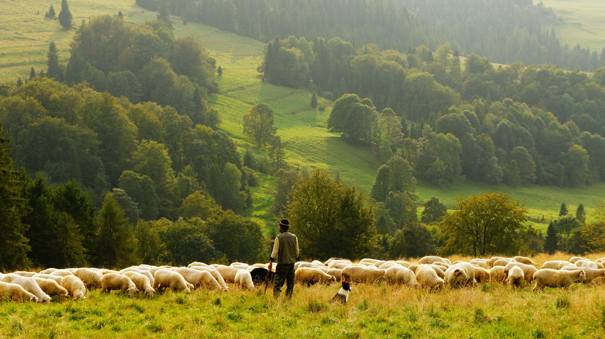 shepherd with flock in green fields